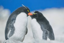 Rockhopper penguins in affectionate mood — Stock Photo
