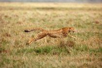 Colpo di movimento di esecuzione ghepardo sul pascolo — Foto stock