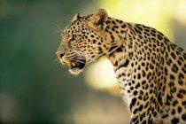 Один леопард — стокове фото