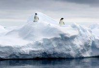 Adelie pinguini sulla banchisa — Foto stock