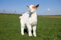 Veau de chèvre sur un champ vert au soleil — Photo de stock