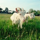 Три козы в поле — стоковое фото