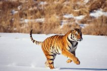 Siberian tiger running in field — Stock Photo
