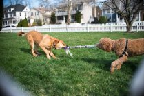 Two dogs playing tug of war with rope in garden — Stock Photo