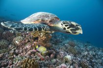 Hawksbill turtle swimming in coral — Stock Photo