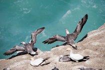 Gannet giovani uccelli volo della roccia — Foto stock