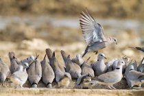 Close-up view of beautiful grey turtle doves in wild — Stock Photo