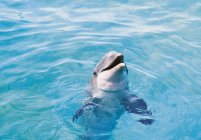 One dolphin in blue transparent water — Stock Photo