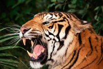 Angry bengal tiger — Stock Photo