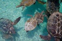 Vista ad alto angolo delle tartarughe marine che nuotano in acqua turchese — Foto stock