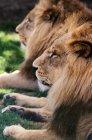 Два льва, лежа на траве — стоковое фото