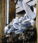 Close up of group of gulls nesting on ledge of building, Reine, Lofoten, Norway — Stock Photo