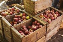 Deliciosas maçãs vermelhas em caixas de madeira — Fotografia de Stock