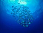 Косяк рыб под ярко-голубой водой — стоковое фото