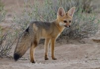 Cape Fox at Kgalagadi Transfrontier Park — Stock Photo
