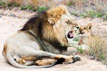 Лев и детеныш на земле — стоковое фото