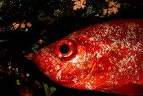 Primer plano de los peces rojos en el mar - foto de stock