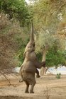 Elefant steht auf Hinterbeinen — Stockfoto