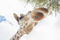 Vista de ângulo baixo de girafa com céu nublado em fundo — Fotografia de Stock