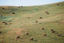 Vacas que se alimentan de pastos - foto de stock