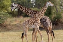 Male and female giraffes at natural reserve, Savannah, south africa — Stock Photo