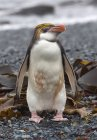 A Royal penguin stands alone on beach along the north west coast of Macquarie Island, Southern Ocean — Stock Photo