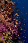 Schooling fish swimming at coral reef — Stock Photo