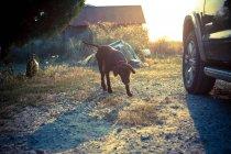 Коричневий собака Лабрадор поруч автомобіля при яскравому сонячному світлі — стокове фото