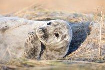 Маленький серый тюлень — стоковое фото
