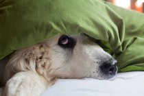 Domestic dog hiding under duvet — Stock Photo