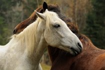 White and brown horses standing together — Stock Photo