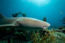 Requin nourrice ci-dessus épave sous l'eau — Photo de stock