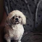 Лхаса апсо собака, дивлячись на камеру — стокове фото