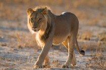 Lion walking in sunlight, full length — Stock Photo