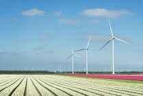 Linhas de flores brancas e rosa e turbinas eólicas — Fotografia de Stock