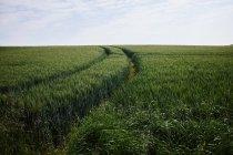 Champ de maïs vert avec des pistes sous le ciel nuageux — Photo de stock