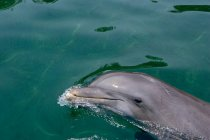 Atlantic tursiope — Foto stock