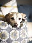 Собака лежит на подушке и смотрит в камеру — стоковое фото