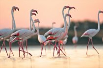 Group of flamingos in water under pink sunset sky — Stock Photo