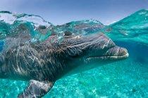 Atlantic bottlenose dolphin, underwater shot — Stock Photo
