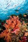 Bancs de poissons nageant au récif corallien — Photo de stock