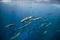 Massive Ansammlung von Großen Tümmlern unter Wasser — Stockfoto