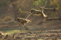 Baboons leaping from branch — Stock Photo