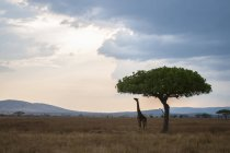 Giraffe reaching for tree leaves at dusk, Masai Mara, Kenya — Stock Photo