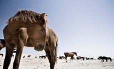 Superfície vista nível de cavalos em paisagem desértica de dia — Fotografia de Stock