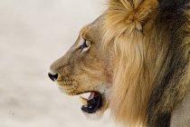 Leone africano maschio, colpo alla testa — Foto stock