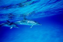 Two atlantic spotted dolphins — Stock Photo