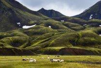 Sheep grazing on field under green hills — Stock Photo