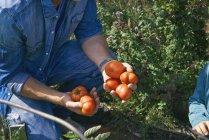 Обрезанные выстрел отца и сына, сбор помидоры — стоковое фото
