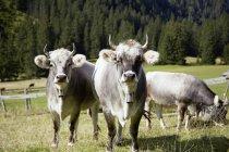 Коровы носить колоколов в долине, Эрвальда, Тироль, Австрия — стоковое фото